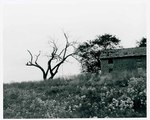 "F08_E03_02 ""The Learning Tree"" tree and old building in Bourbon and Linn counties, Kansas by Unknown"